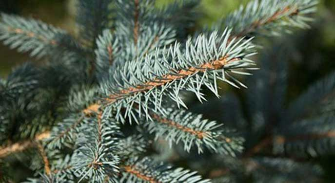 O Tannenbaum symbolizes the entire celebration of Christmas